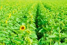 Free Sunflowers Field Royalty Free Stock Photography - 8410617