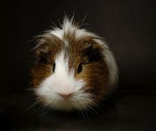 Free Guinea-pig Royalty Free Stock Photography - 8410727