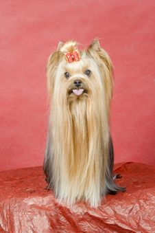 Free Yorkshire Terrier On Red Background Royalty Free Stock Images - 8411079