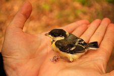Free Tomtit Nestling In Hands Royalty Free Stock Image - 8411176