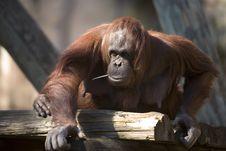 Free Chimp Approaching Royalty Free Stock Photos - 8411278
