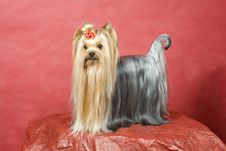 Free Yorkshire Terrier On Red Background Royalty Free Stock Images - 8411419