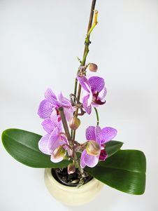 Free Orchid Stock Image - 8412251