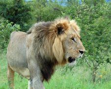 Free African Lion Royalty Free Stock Images - 8412909