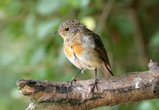 Young Robin Stock Image