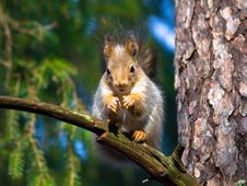 Free Red Squirrel Royalty Free Stock Photos - 8413088