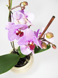 Free Orchid Royalty Free Stock Image - 8413286