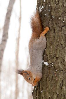 Free Hanging Squirrel Stock Images - 8414934