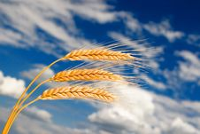 Golden Wheat In The Sky Background Stock Photo
