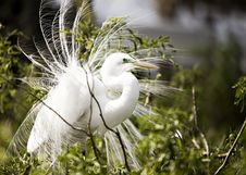 Free Wind-blown Egret Stock Photography - 8417722