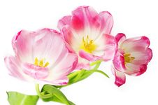 Free Pink Tulips Royalty Free Stock Photo - 8417875