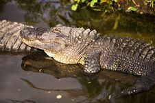 Alligator Watching You Royalty Free Stock Photography