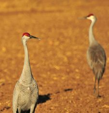Free Sandhill Cranes Royalty Free Stock Images - 8418089