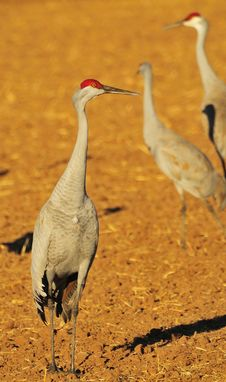 Free Sandhill Cranes Royalty Free Stock Photo - 8418125