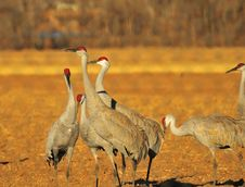 Free Sandhill Cranes Royalty Free Stock Photo - 8418195