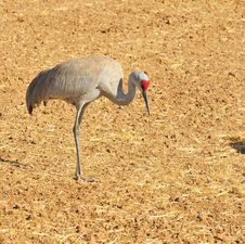 Free Greater Sandhill Crane Royalty Free Stock Images - 8418239