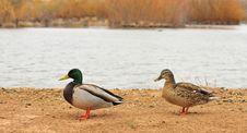 Free Pair Of Mallards Stock Photography - 8418272