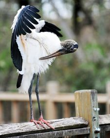 Free Wood Stork Preening Royalty Free Stock Images - 8418419