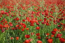 Free Nice Poppy Field Royalty Free Stock Photography - 8418657