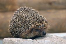 Free Hedgehog Royalty Free Stock Photos - 8419158