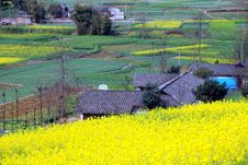 Free Pengzhou, China: Fields Of Yellow Rapeseed Flowers Royalty Free Stock Photography - 8419277