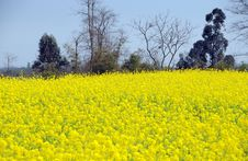 Free Pengzhou, China: Yellow Rapeseed Flowers Royalty Free Stock Photography - 8419457