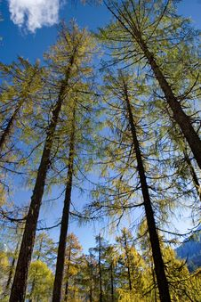 Free Day View Of Pine Trees At Forest Of Sichuan Royalty Free Stock Image - 8419826