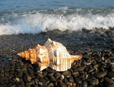 Free Sea Shell Royalty Free Stock Images - 8419909