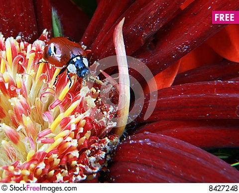 Free Lady Bug Royalty Free Stock Photos - 8427248