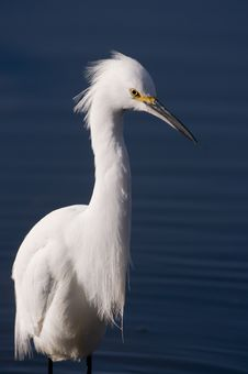 Free Snowy Egret Royalty Free Stock Photography - 8420187