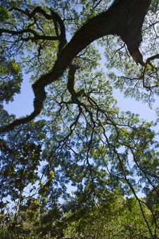 Free Tree Reaching For The Sky Royalty Free Stock Images - 8420469