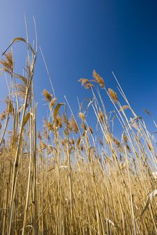 Free Marsh Grass Into The Sky Royalty Free Stock Photography - 8420477