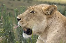 Free Lioness Stock Photography - 8420892