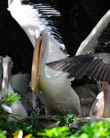 Free Pelican Eating A Fish Stock Image - 8420961