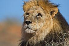 Free Lion Stock Photos - 8421493