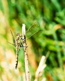 Free Dragonfly Royalty Free Stock Photos - 8421558