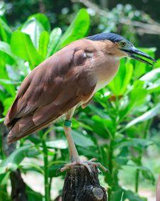 Free Nankeen Nigh Heron Royalty Free Stock Photos - 8421578