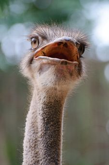 Free Ostrich Stock Photo - 8421730