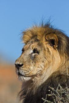 Free Lion Stock Image - 8421791