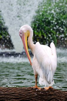 Free Pelican And Fountain Royalty Free Stock Images - 8421979