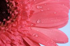 Free Pink Daisy Flower Macro Stock Images - 8422144