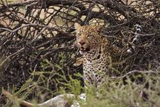 Free Leopard Royalty Free Stock Image - 8422306