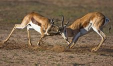Free Two Springbok Fighting Royalty Free Stock Photography - 8422377