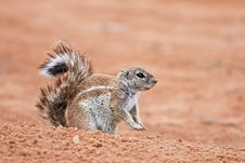 Free Ground Squirrel Royalty Free Stock Photography - 8422397
