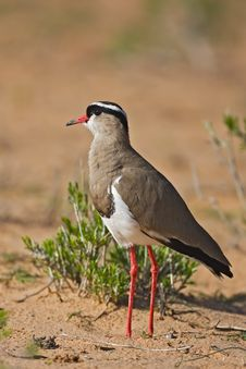 Free Plover Royalty Free Stock Photography - 8422477