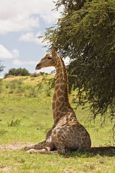 Free Giraffe Royalty Free Stock Photography - 8422587