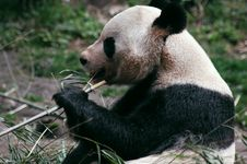 Free Panda Eating Bamboo Stock Images - 8423264