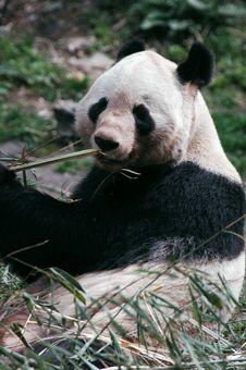 Free Panda Stock Images - 8423294