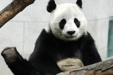 Free Panda Stock Photography - 8423332