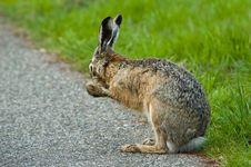 Cleaning Hare Royalty Free Stock Image